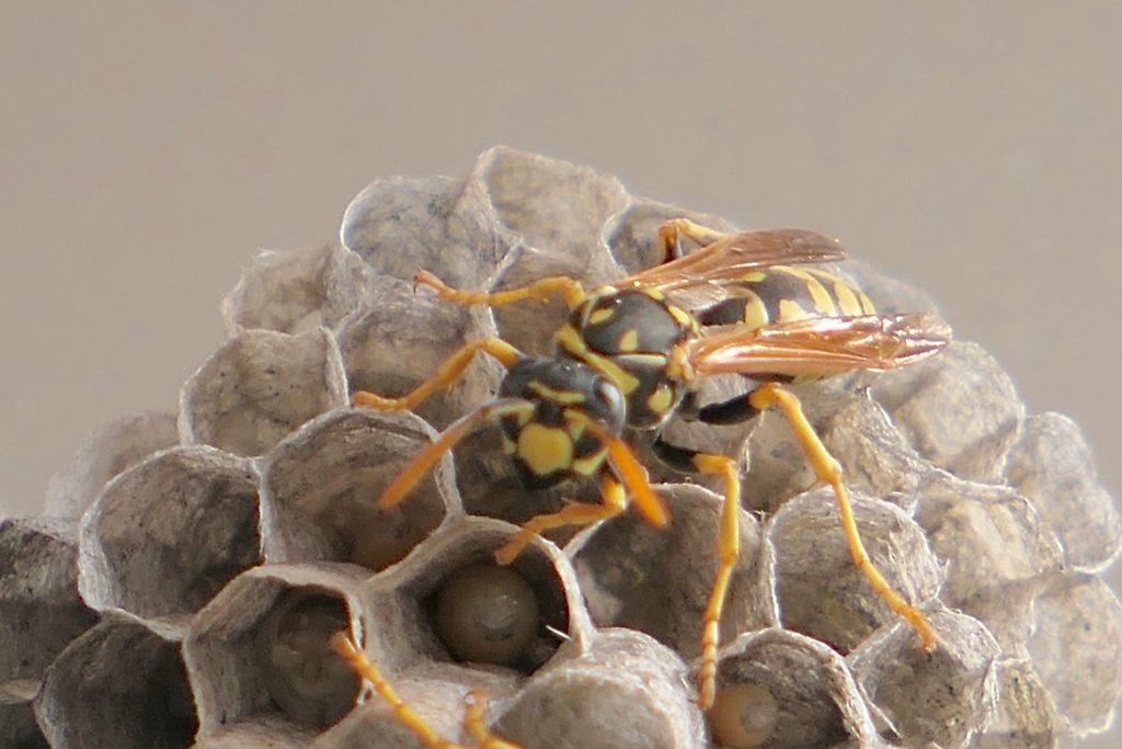 Gallische Feldwespe auf ihrem Nest